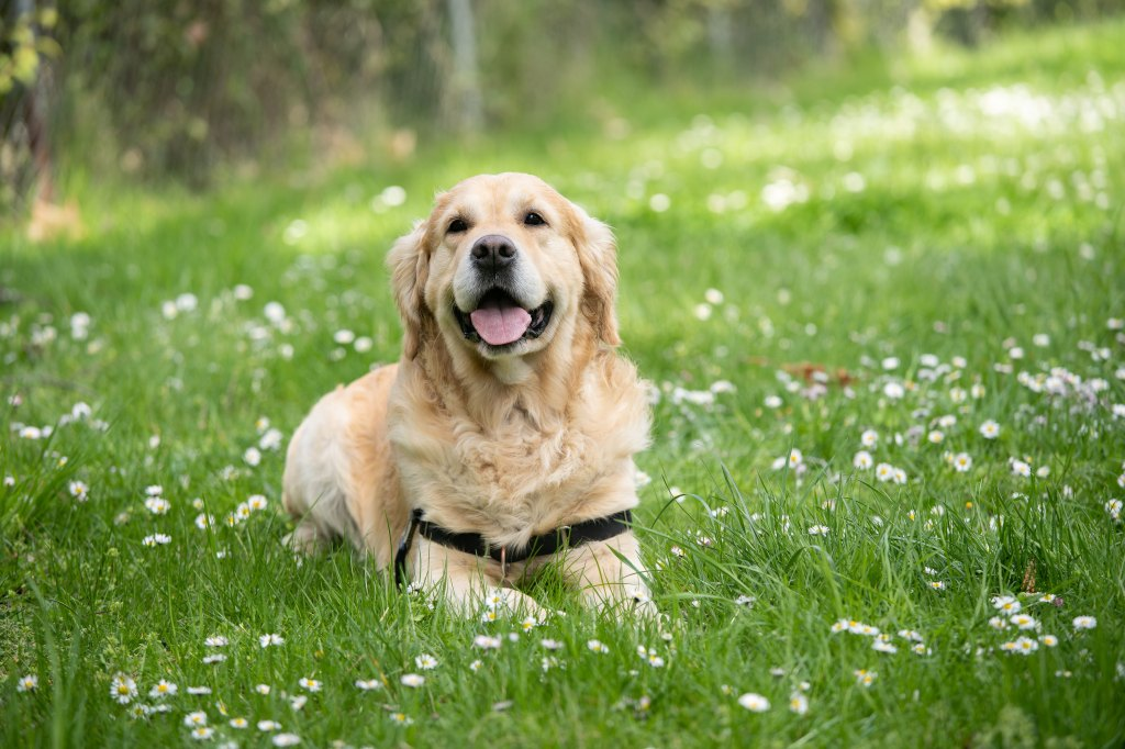 golden retriever in down position on grass with white flowers